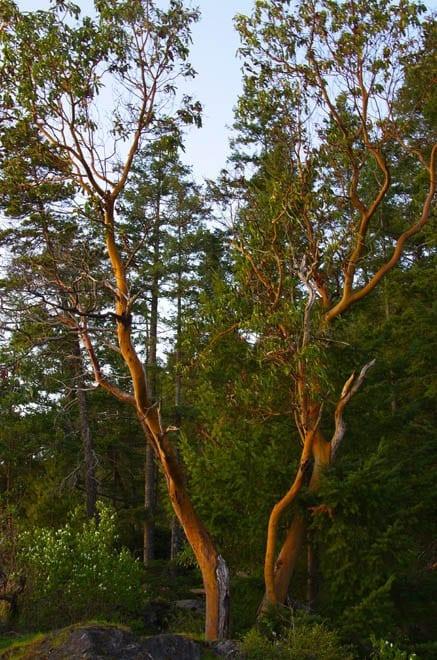 """Arbutus tree in evening light"""