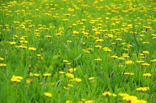 """Masses of dandelions"""