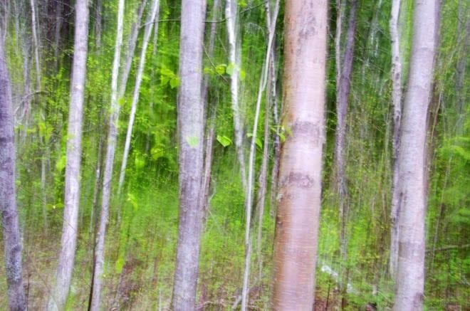 """Vertical pan of birch trees"""