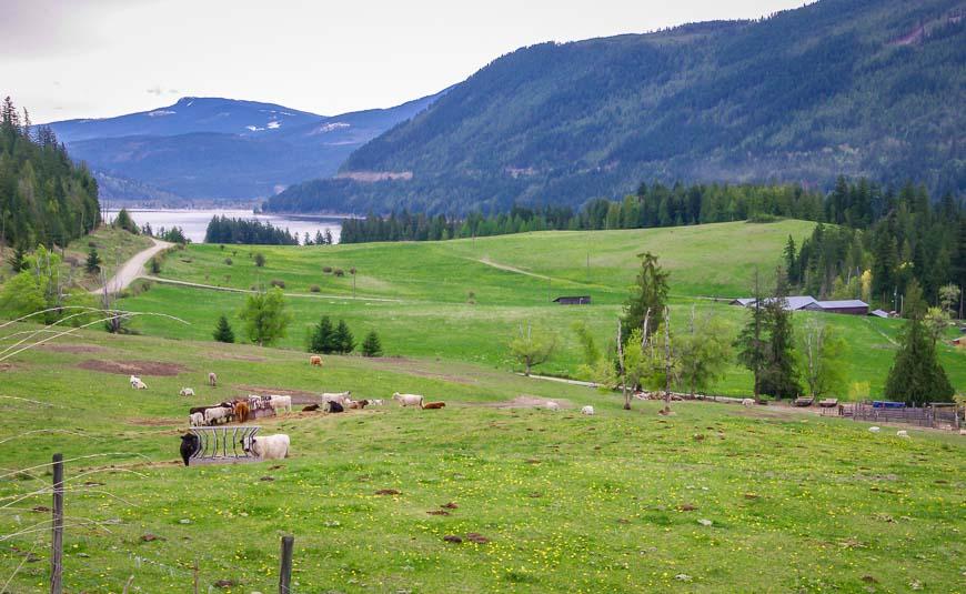 Biking past an organic beef farm