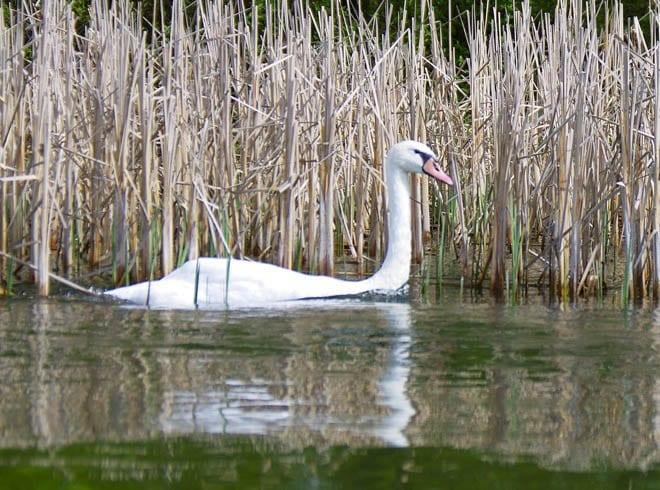 """Swan in the 1000 Islands"""