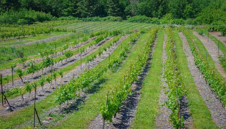 Bear River Winery grape vines