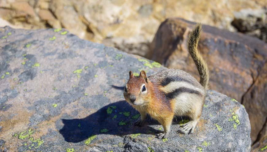 No shortage of golden-mantled gound squirrels around