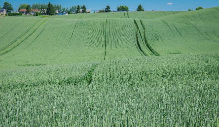 Glorious fields of oats