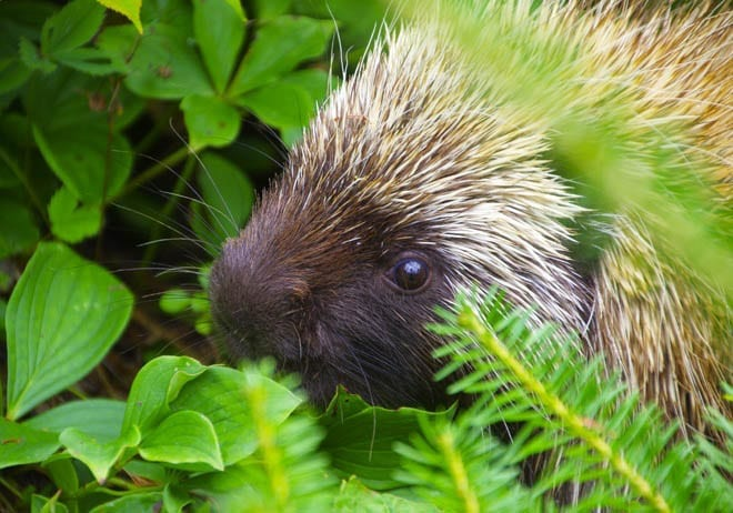 """""""running into a porcupine"""""""