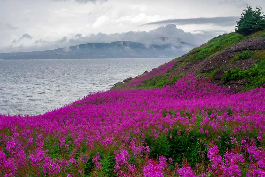 Masses of pink wildflowers on Bonaventure Island