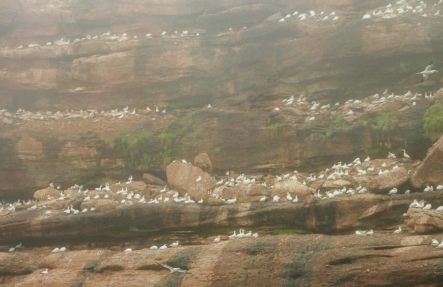 Masses of nesting gannets on the cliffs