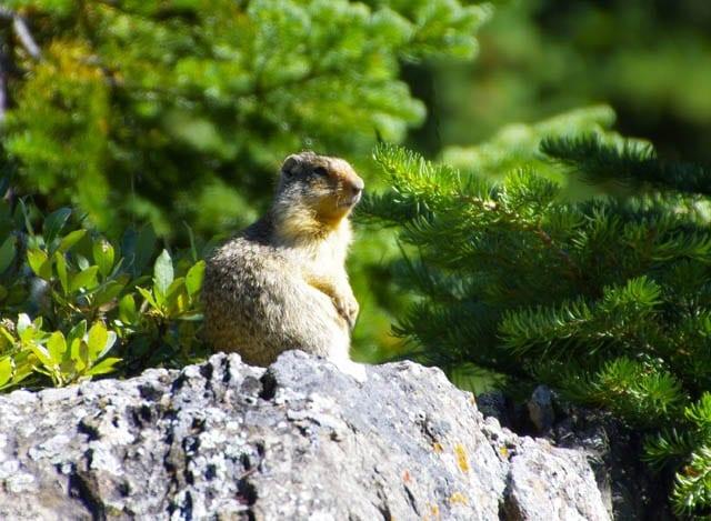 """A Richardson's ground squirrel enjoying the sun"""