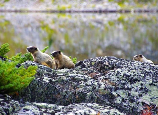 """three marmots frozen"""