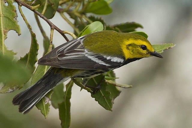 """Black throated green warbler"""