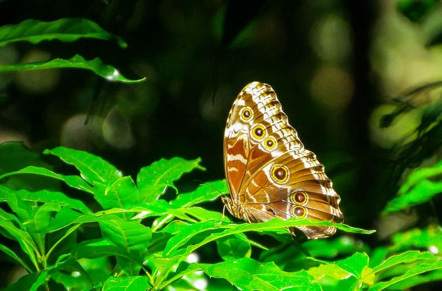 One of the 1000 species of butterflies in Costa Rica