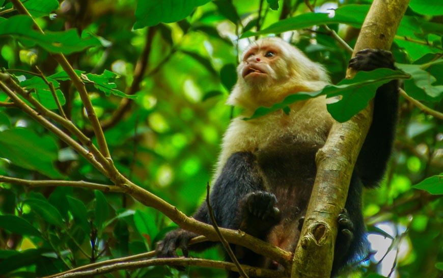 A capuchin monkey in Rincon de la Vieja National Park