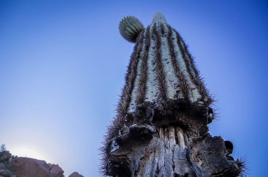 Looking up at the saguaro cactus
