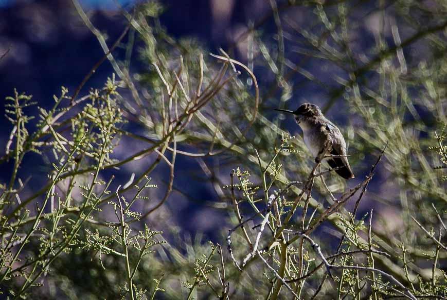 One of the hummingbirds we saw while hiking Pinnacle Peak