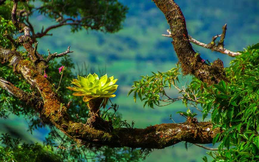 The bromeliads grow on the limbs of a tree