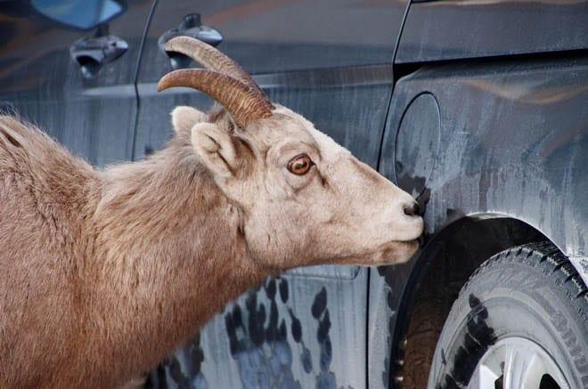 """Big horned sheep licking the salt off the car"""
