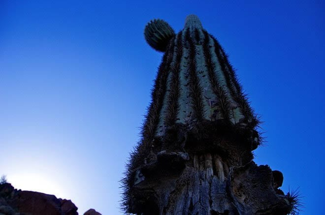 """Looking up at the saguro cactus"""