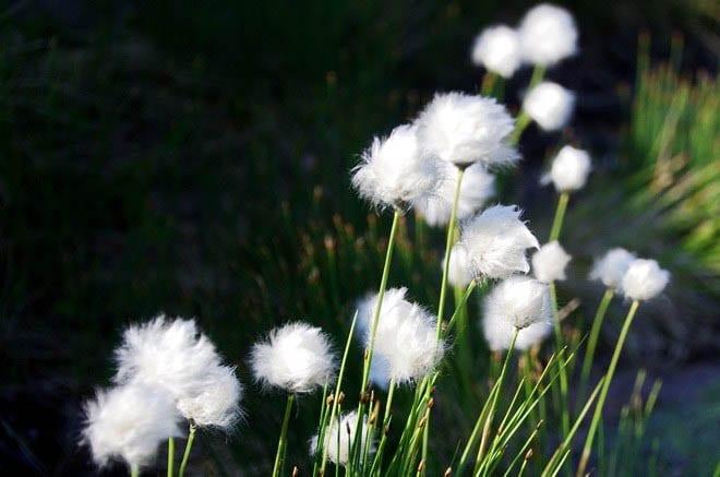 """""""Arctic cotton"""""""