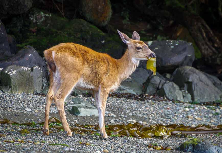Deer munching on seaweed
