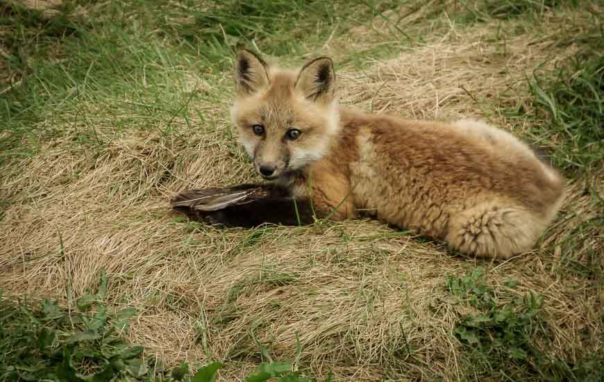 Baby fox on Skerwink Trail
