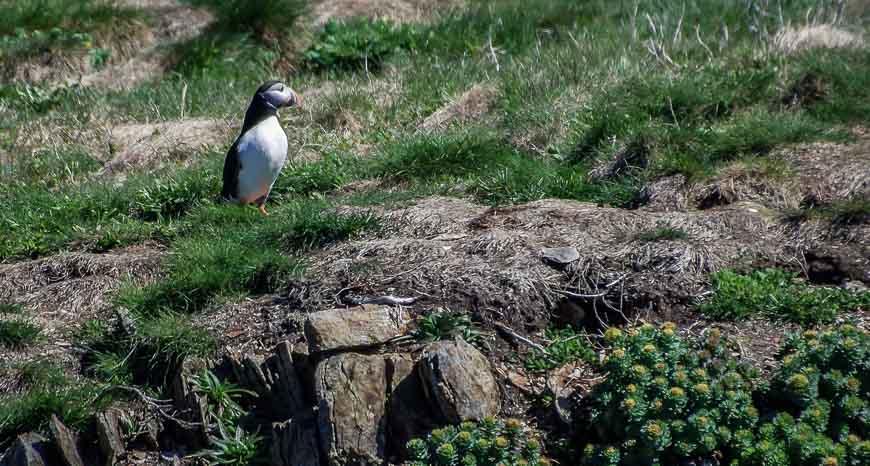 There's a puffin colony on the Bonavista Peninsula
