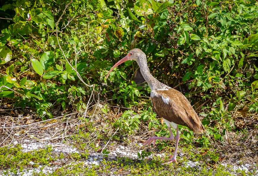 Immature ibis