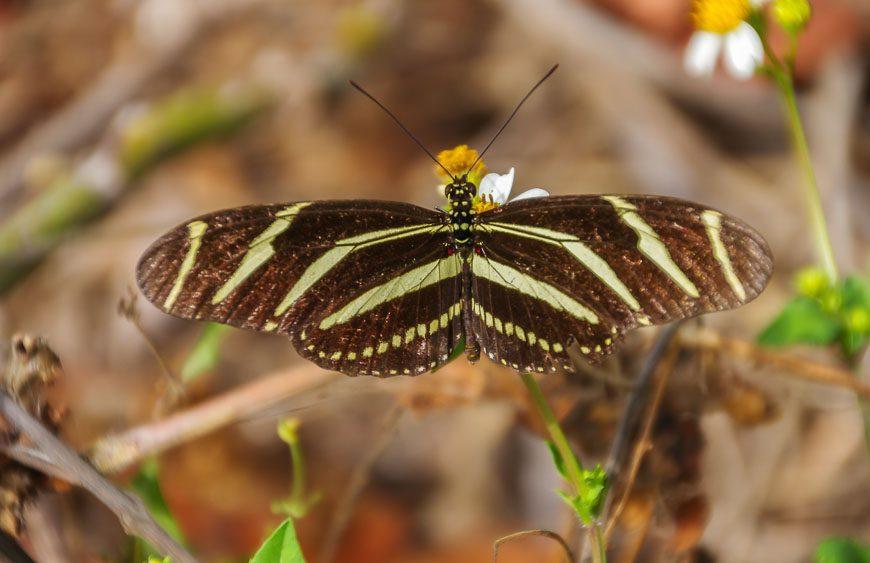Zebra butterfly I think