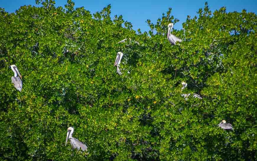 On the Florida Keys kayaking tour we saw pelicans roosting