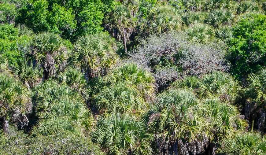 Nothing but Sabal Palms