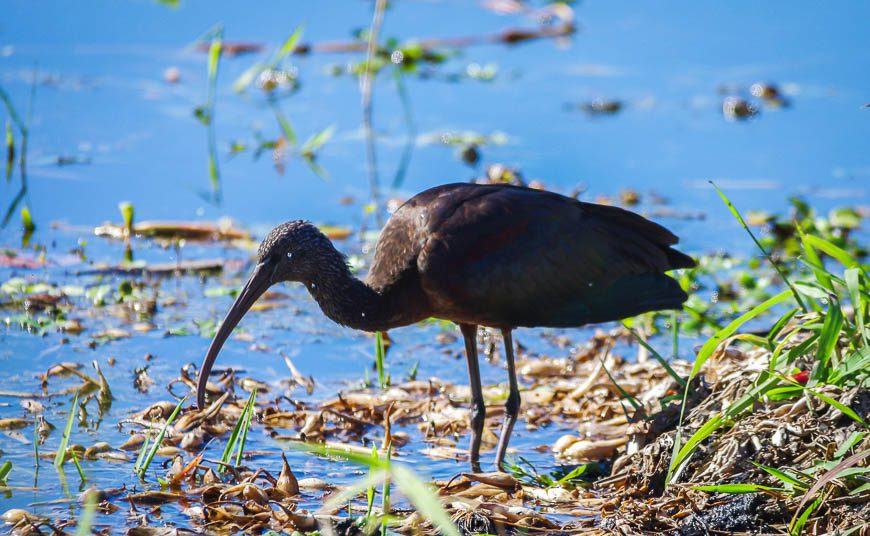 Glossy ibis - another first seen in Myakka State Park