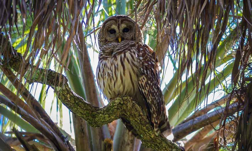 Myakka State Park - barred owl sighting