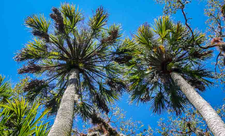 Blue skies frame the palm trees