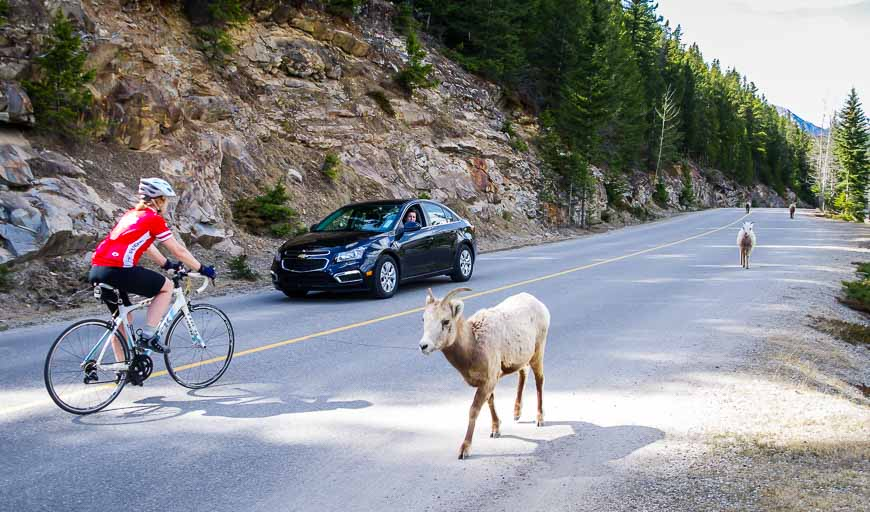 Bighorn sheep don't seem to mind cyclists or cars