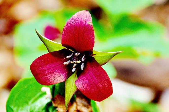 Purple trilliums are less common in Gatineau Park