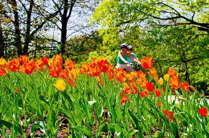 The tulips are near their peak in Ottawa