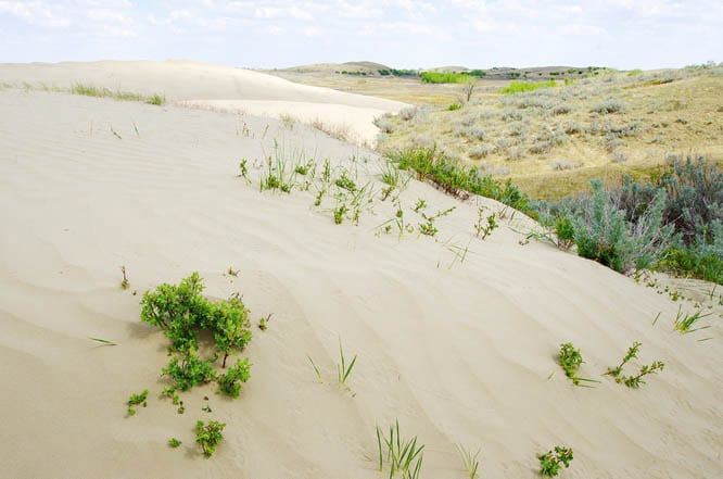 Plants stabilizing the dunes in the Great Sand Hills Saskatchewan