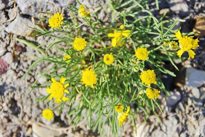 Hardy wildflowers