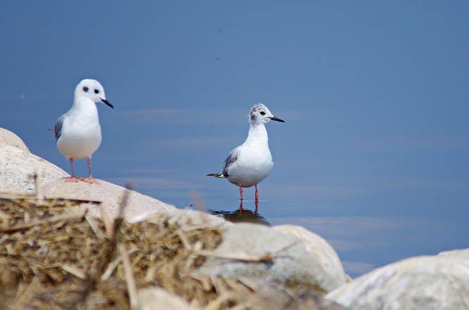 Bonaparte gulls, Quill Lakes