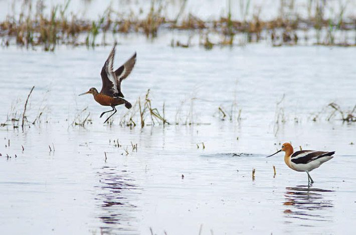 Avocet and Hudsonian Godwit