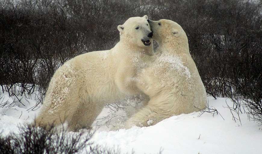 Sparring polar bears in Churchill
