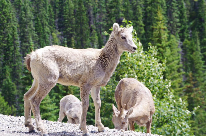 On the drive out from Sunshine Village we saw a family of big horned sheep