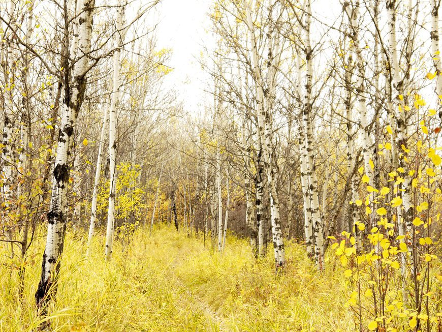 The last of the yellow birch trees in Calgary