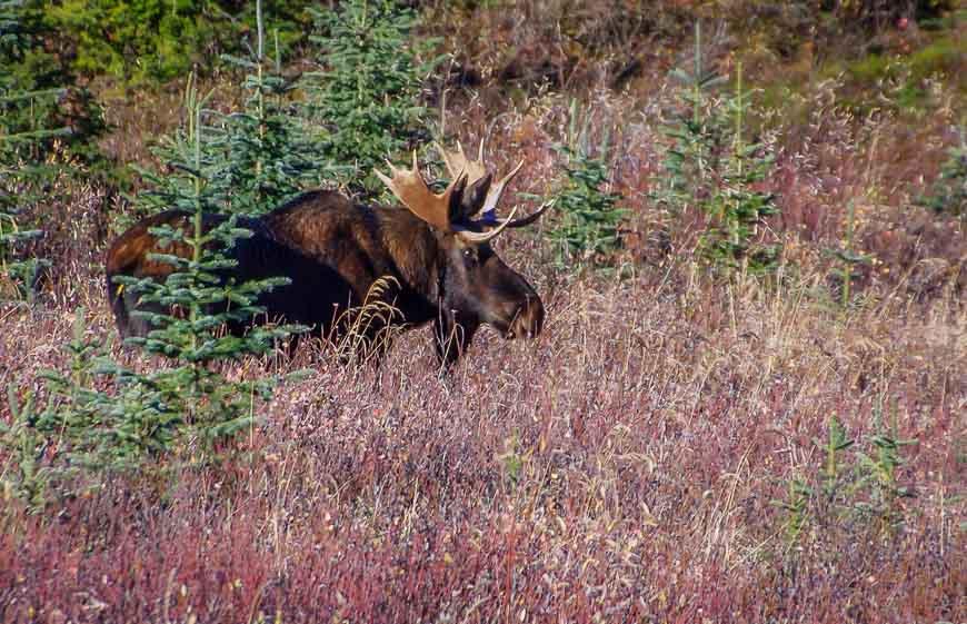 Bull moose seen near Mount Engadine Lodge on the way to the trailhead