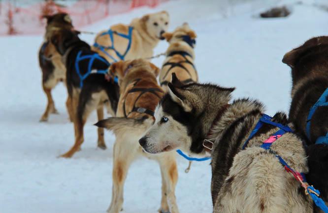 Dogsledding in the Rockies