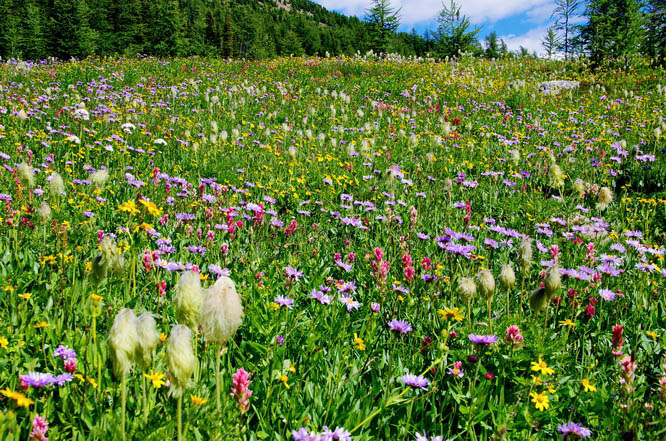An outstanding wildflower display on our Egypt Lake backpacking trip