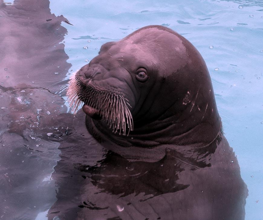 Close-up of the walrus in the Quebec City Aquarium