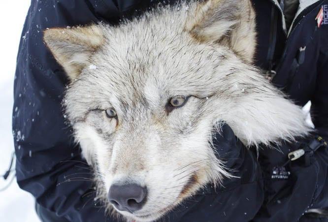 Wolf in Girardville, Quebec