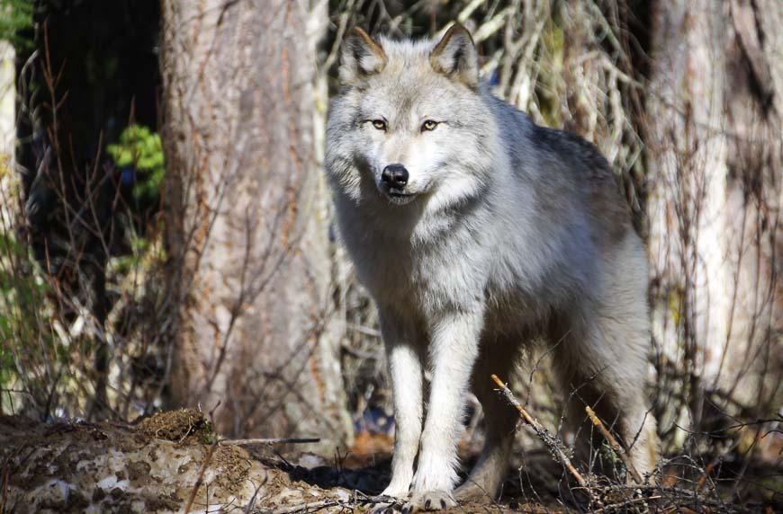 Wolf in Golden looking very regal