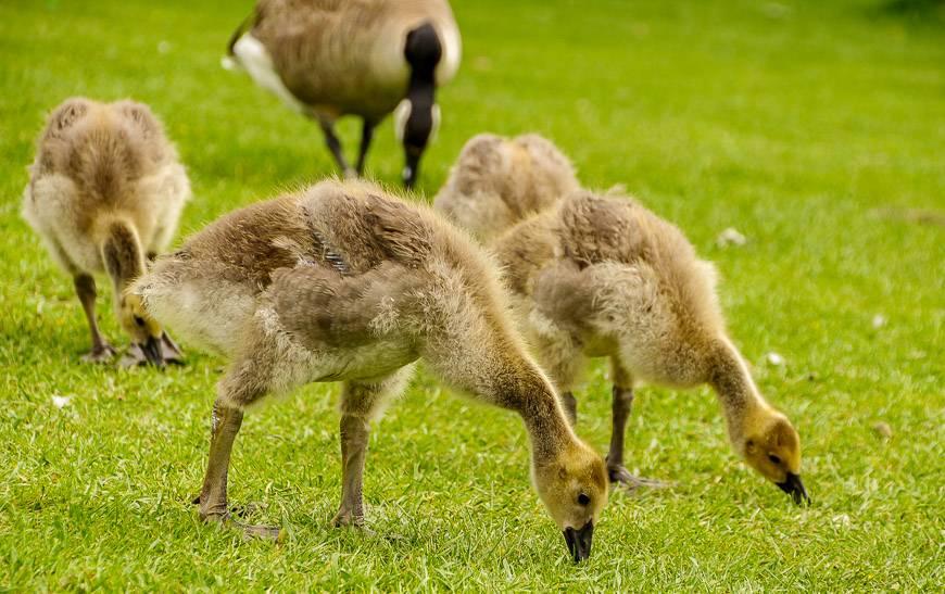 Canada Geese galore in Queen Elizabeth Park