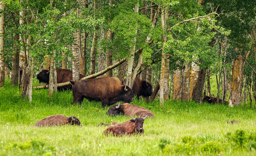 On the way to Astotin Lake you'll often see plains bison in the woods on the west side of the road